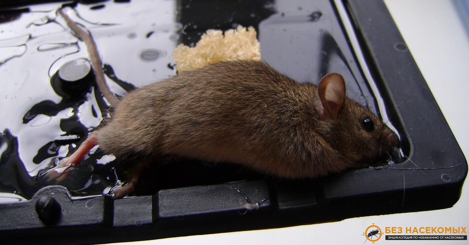 эффективные средства выведения мышей