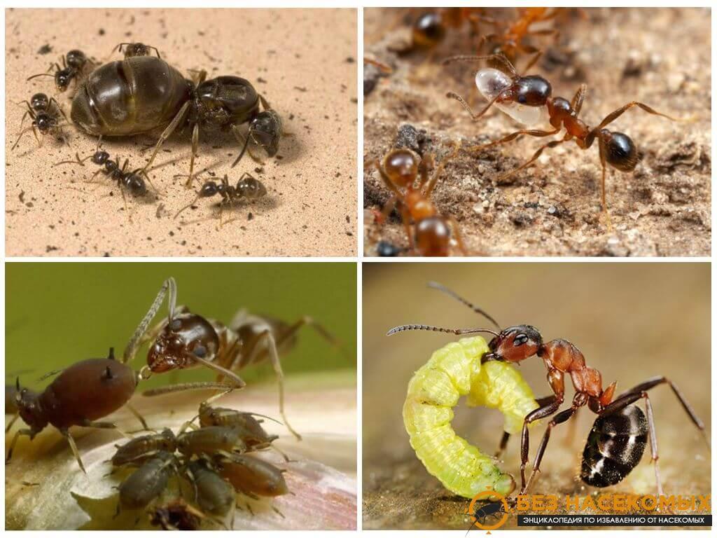как избавиться от мелких муравьев в квартире