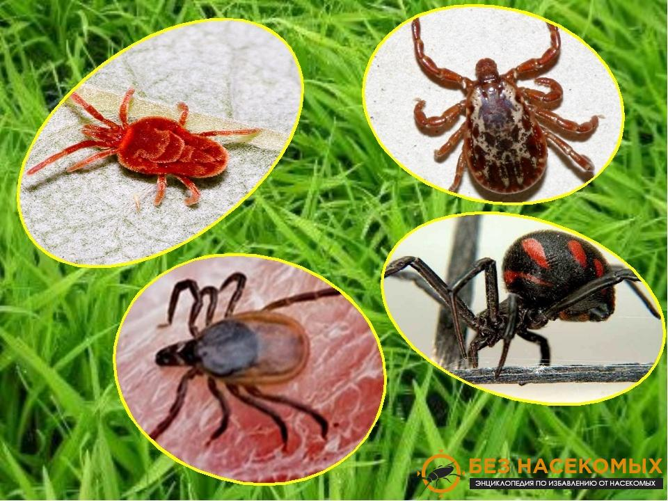 виды и классификация клещей