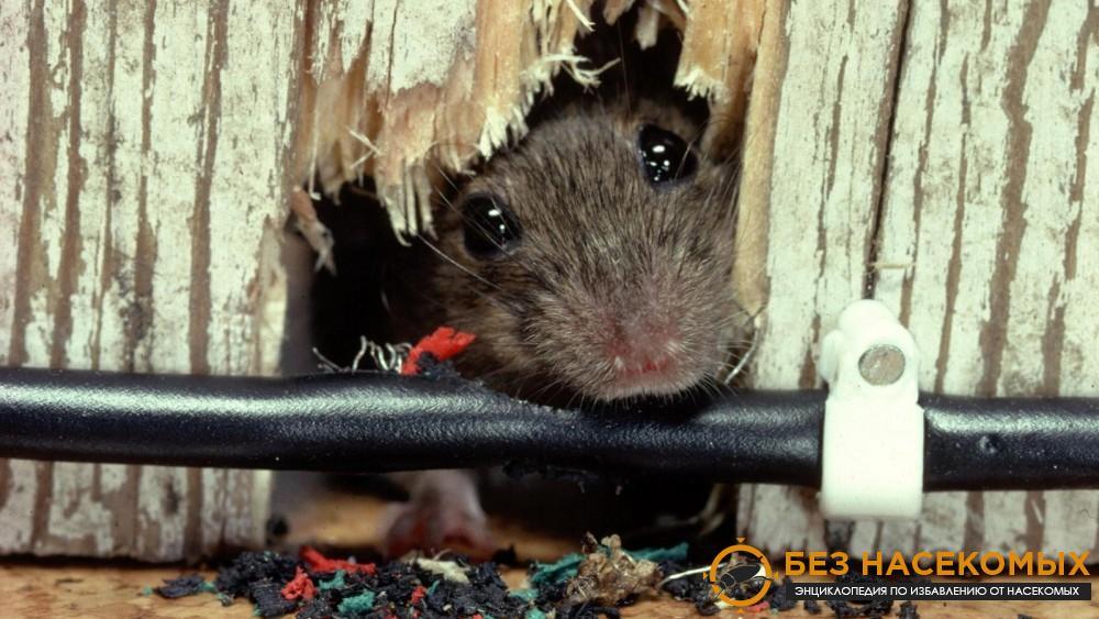избавиться от крыс в частном доме навсегда
