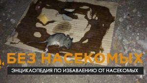 как избавиться от крыс народные средства
