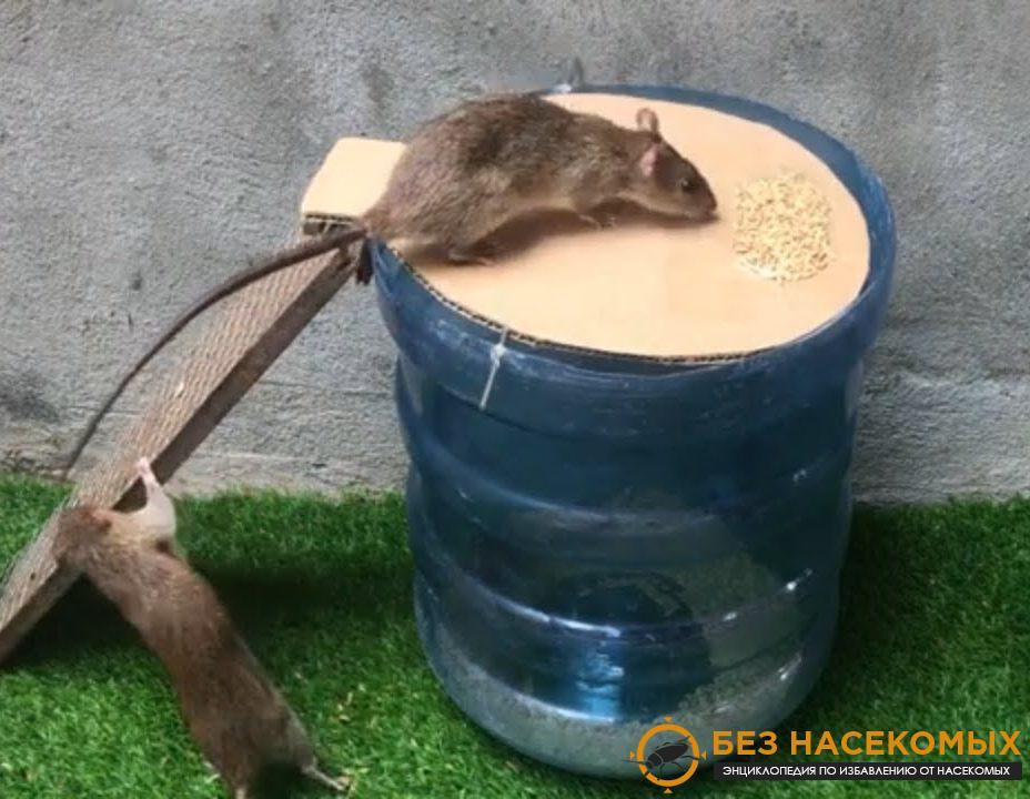 эффективно избавиться от крысы в доме